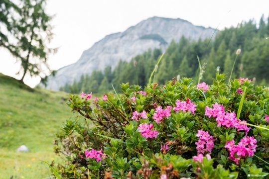 Blühende alpine Vegetation